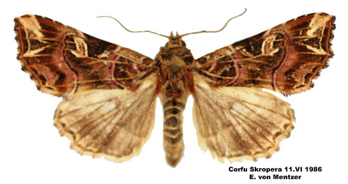 Male Latin moth