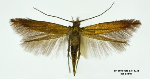 Coleophora frischella (Insecta: Lepidoptera: Coleophoridae)