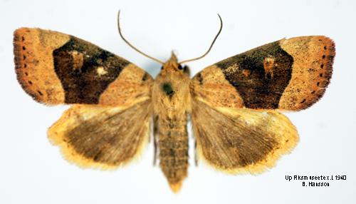 Cosmia Trapezina Insecta Lepidoptera Noctuidae